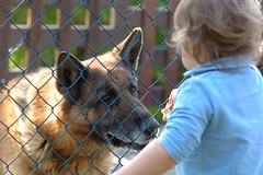 (maud77) Tags: dog cane germanshepherd chiara argo pastoretedesco maggio2009 22mesi