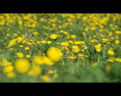 Pissenlits (Alain Cachat) Tags: france flower green fleur field yellow jaune leaf nikon vert dandelion champ feuille pissenlit ardche rochemaure vivarais d80 rhnealpes