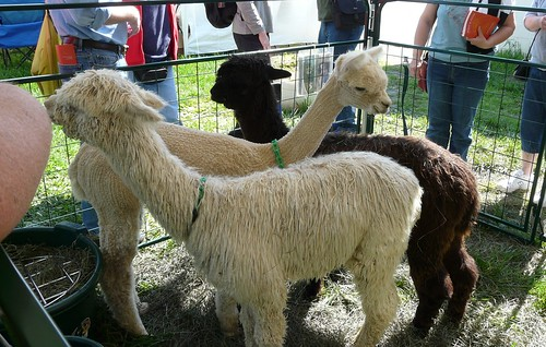 And even more alpacas!