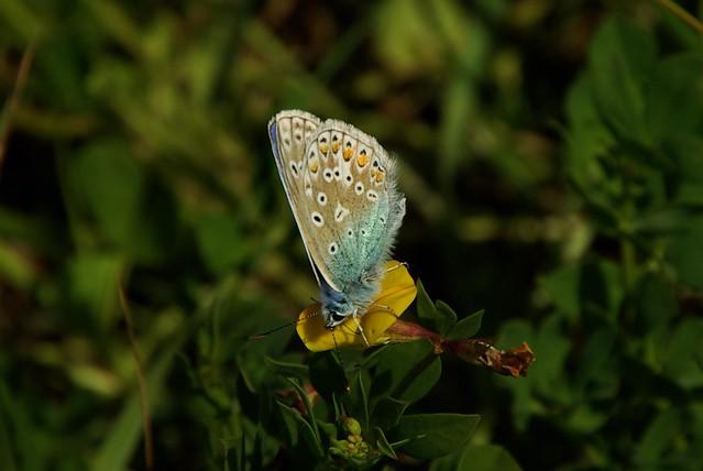 Male Common Blue - Underside 1
