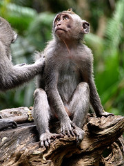 Monkey See (Trevor & Rachel) Tags: bali nature animal animals monkey asia southeastasia wildlife jungle ubud monkeyforest thechallengefactory