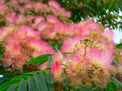 The silk tree flower (Albizia)