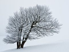 Against All Odds (andywon) Tags: winter snow cold tree nature germany deutschland wind minimal schwarzwald blackforest minimalistic beech buche schauinsland badenwrttemberg explored stohren wetterbuche