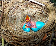 Hunger at Birth (QuinnPhoto) Tags: blue baby bird robin birds animal born newjersey birth planet hungry birdnest watcher hatching blueeggs coltsneck crackedegg babyrobins specanimal abigfave mikequinn colorphotoaward avianexcellence thewonderfulworldofbirds artofimages hatchingrobins