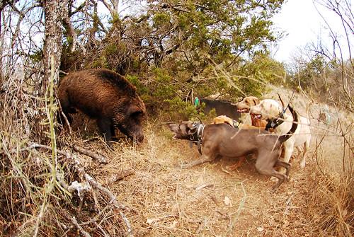 Boar Dogs For Sale Nsw