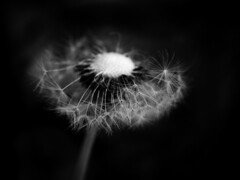 Media vida (_Zahira_) Tags: bw black flower macro lafotodelasemana negro flor olympus bn nd dientedeleón e500 interestingness10 uro 100vistas i500 35mmmacro ltytrx5 ltytr2 ltytr1 ltytr3 ltytr4 ltytr5