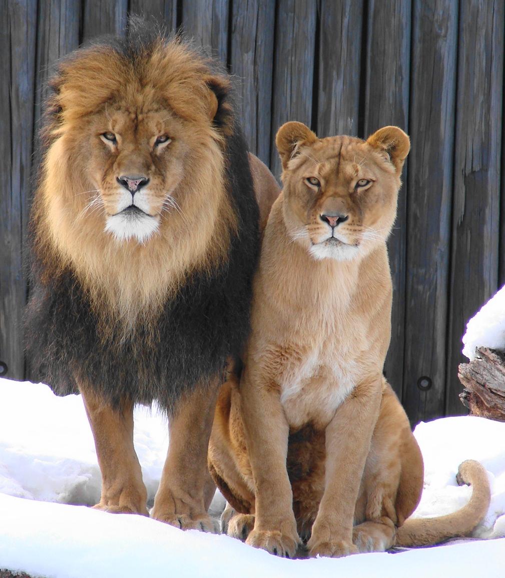 История про львицу и беременную олениху 54