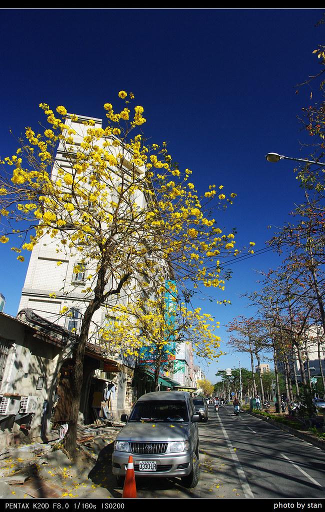 東豐路上黃風鈴,春天來了。