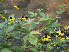 flowers on the creekbed (jhenimichelle) Tags: flower water creek blackeyedsusan