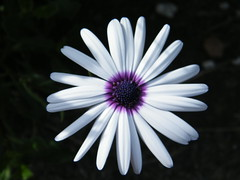 test white flower macro nature petals purple sidewalk fujifilm northsydney mclarenstreet s2000hd