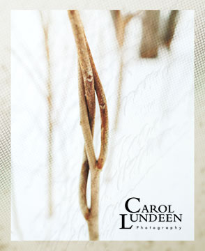 Tying the Knot: Vines Entwined, photograph by Carol Lundeen
