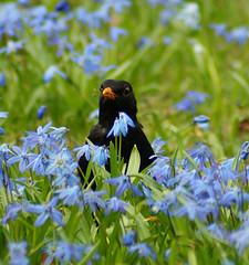Black Spot (binaryCoco) Tags: blue friedhof black green linden hannover grün blau turdusmerula scilla blackbird schwarz turdus amsel scillasiberica blaueswunder merula blaustern schwarzdrossel siberica sibirischerblaustern
