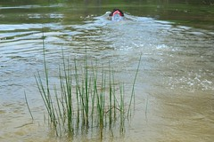 2009:04:05__10:45:33 (MilkaWay) Tags: water grass swimming puppy pond birddog tessa jersey 365 2009 gsp day95 germanshorthairedpointer aphotoaday waltoncounty 9monthsold ruralgeorgia navhda p3652009 buckeyesplantation navhdatesting
