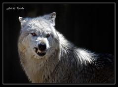 LOBO ( WOLF ) (Pecelln) Tags: alaska fauna canon eos wolf wildlife sigma lobo lobos wolves polaris enfadado 170500 sigma170500 50d specanimal eos50d abigfave canoneos50d enstantane impressedbeauty lobodealaska alaskanwolf platinumheartaward flickrestrellas rubyphotographer flickrlovers vosplusbellesphotos alittlebeauty flickraward thenewselectbest worldclassnaturephotos joseluispecellin joselpecellin pecellin atomicaward idpolaris pecellinphotographer pecellinphotography