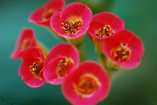 ABG_cluster_of_petals[2009]