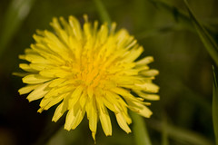 Anglų lietuvių žodynas. Žodis taraxacum reiškia n  bot. (mažoji/paprastoji) kiaulpienė 2 med. vaistai, pagaminti iš kiaulpienės lietuviškai.