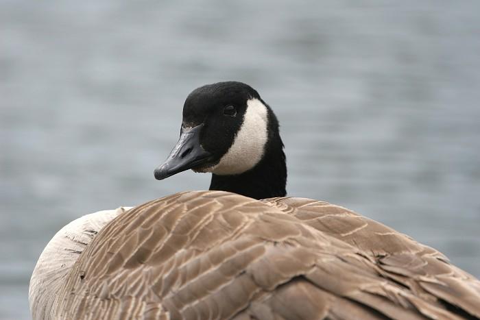04-16-goose2