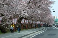 20090419 Hirosaki 001 (kavik379) Tags: cherryblossom sakura hirosaki