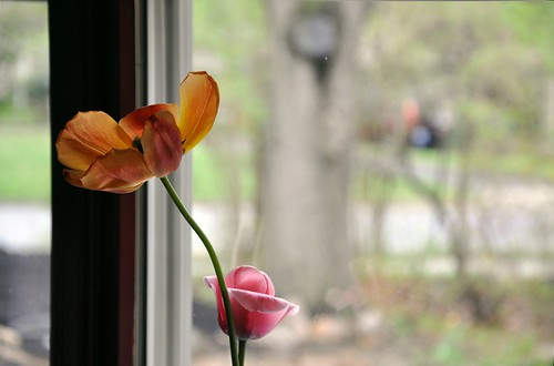 tulips in the south-facing window