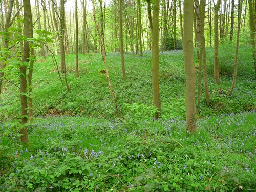 Gillfield Wood Bluebells, May 1st.