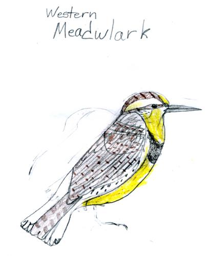 Western Meadowlark -- by Zippy age 9