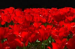 Heroes Of The Day (scorpion (13)) Tags: flowers friends red black nature tulips blossoms nederland click soe keukenhof tulpen cherryontop supershot abigfave everydayissunday theperfectphotographer goldstaraward rubyphotographer gr8photos damniwishidtakenthat
