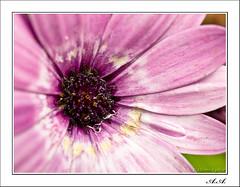 La gota en la flor (olyverde2007) Tags: naturaleza flower macro nature water closeup petals agua flor violet olympus drop daisy margarita e3 gota zuiko violeta petalo uro 35mmmacro