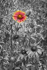 (rogermajors) Tags: blackandwhite white black flower color phoenix gardens botanical desert hint desertbotanicalgardens ariziona hintofcolor