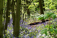 bluebells in the wood (DSLR Lee) Tags: lake water dam sthelens carrmill