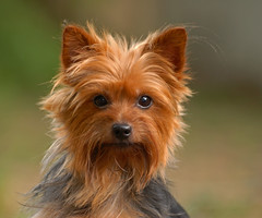"""All by myself"" (Michael Skelton) Tags: friends dog pet home yorkie animal puppy mammal happy nikon looking florida watching posing excited cutie tommy nate sarasota curious pup yorkshireterrier interested staring companion doggie 70200mmf28 michaelskelton michaeldskelton michaeldskeltonphotography"