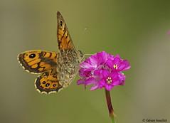 Papillon (fabdebaz) Tags: macro fleur mai papillon 31 distillery 2009 bazige insecte aficionados sudouest hautegaronne lauragais k10d pentaxk10d justpentax collectionnerlevivantautrement vosplusbellesphotos baziege