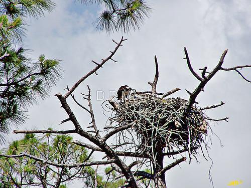 3000219-3-feeding-baby-ospreys-ii