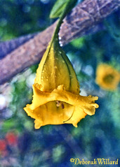Cup o' Gold (Solandra nitida) (DebDubya) Tags: flowers flower nature yellow island flora blossom vine stjohn tropical bloom caribbean goldcup usvi tropicalflowers trumpetshaped cupofgold chalicevine goldenchalice solandranitida caribbeanflowers deborahwillard debdubya deborahwillarddesigncom