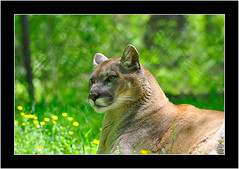 MountainLion_2 (jamiev_03) Tags: 50mm nikon wv 1855mm cougar mountainlion frenchcreek d90