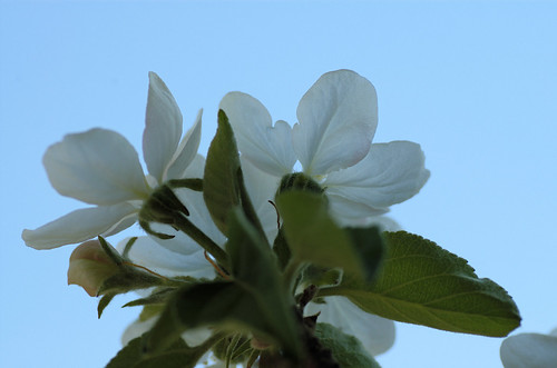 appleblossum3377