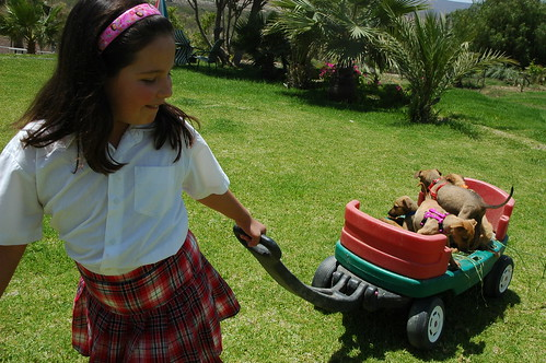 The owner's daughter, wearing a plaid shirt, hauling 4 puppies in a wagon, yard, ferns, Baja's Best El Rosario Cafe Bed and Breakfast, Baja California Norte, Mexico by Wonderlane