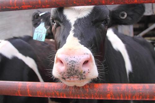 Hadley Cows