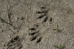 Racoon Tracks near Creek (johntestsgo) Tags: digitalrebelxti centraltexasflowers balconescanyonlandsnwr2009