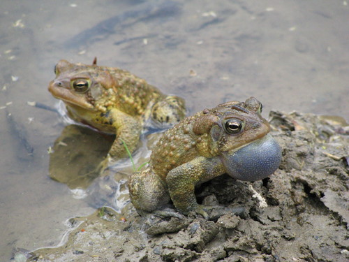 Two frogs at Buckhorn Lake by LouisvilleUSACE, on Flickr