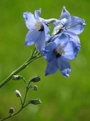 13.06.2009 (hippo1107) Tags: blue flower canon is powershot pony blau blume pferd reiten s5 marienhof ponyhof reitstall reiterhof pferdehof reitunterricht canonpowershots5is greimerath