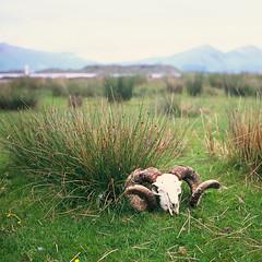 Skull in a Landscape (jamalrob) Tags: 120 film zeiss port skull scotland highlands fuji sheep tl argyll scottish slide jena website carl transparency medium format loch pentacon six provia blackface appin 80mm 100f reversal linnhe czj biometar