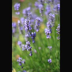 b-o-k-e-h (_nejire_) Tags: england plant flower green london nature canon flora bokeh f14 lavender explore 238 carlzeiss 10faves 25faves 1010pm nejire 400d eos400d canoneos400d fave10 planart50mm lavendura mhashi fave25 carlzeissplanart1450ze 6018384g230pm no340