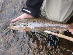 Fourth.... (Kim at Fly Fishing Wales) Tags: wales river fly fishing kim breconbeacons foundation guide tribe celticmanor usk rivertawe instructor tuition wye guiding riverdee bugging rydercup grayling riverseven rivertowy riverogmore rivertaff environmentagency orvis fishingflies fishingpermit dryfly nymphfishing wildbrowntrout irfon welshflickrcymru flyfishinguk riverneath ithon wyeanduskfoundation flyfishingtuition czechnymphing flyfishingsafaris kimtribe flyfishingwales orvisguide freestoneriver guidingto19609 flyfishingcoaching rodlicence