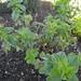 oreganum vulgare / wilde marjolein