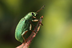 green at the top (bugman11) Tags: macro green nature animal animals fauna canon bug insect beetle nederland thenetherlands insects bugs beetles soe autofocus thegalaxy doublyniceshot tripleniceshot mygearandme mygearandmepremium mygearandmebronze mygearandmesilver mygearandmegold mygearandmeplatinum mygearandmediamond ringexcellence dblringexcellence tplringexcellence allnaturesparadise eltringexcellence unlimitedinsectslevel1 unlimitedinsectslevel2 unlimitedinsectslevel3 unlimitedinsectslevel4 unlimitedinsectslevel5 unlimitedinsectslevel6 unlimitedinsectslevel7 vigilantphotographersunite vpu2 vpu3 infinitexposure