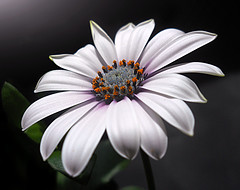 The perfect shape (*Gitpix*) Tags: flowers white flower color macro nature petals nikon blossom natur blumen explore coolpix form shape blume makro blte weiss bltenbltter gettyimages farben blten explored capedaisy kapkrbchen osteospermumecklonis bornholmmargeriten kapmargeriten mygearandme mygearandmepremium mygearandmebronze mygearandmesilver mygearandmegold mygearandmeplatinum ringexcellence artistoftheyearlevel3 artistoftheyearlevel4 artistoftheyearlevel5 artistoftheyearlevel6