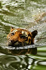 It's HOT, let's cool off a bit.. (Mohamad Faizal Omar) Tags: cats water animals swim reflections zoo big nikon head wildlife tiger wildanimal nikkor tigris animalplanet stalking bigcats 80200mm panthera d90 faizalomar nikond90 tigerinwater january2009