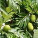 Bequia Breadfruit