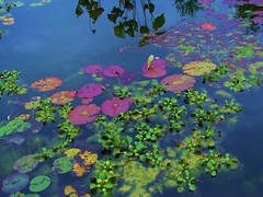 Water Color (Cher12861) Tags: park pink blue color reflection green fall nature water beauty leaves yellow reflections pond waterlily edited floating explore watergarden 427 lilypads 2008 processed enhanced waterscape mortonarboretum paintinglike monetlike lisleillinois impressionistlike makemoocard childrensgarden