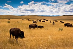 Bison in the Fields of Utah (pa_cosgrove) Tags: sky nature clouds landscape utah photo amazing buffalo group wideangle canoneos20d plains bison herd prarie the canonefs1785mmf456isusm
